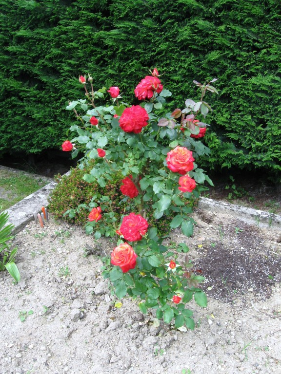ROSES  BUISSON